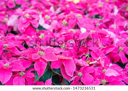 Poinsettia flowers or christmas star flower or Euphorbia pulcherrima flower in garden