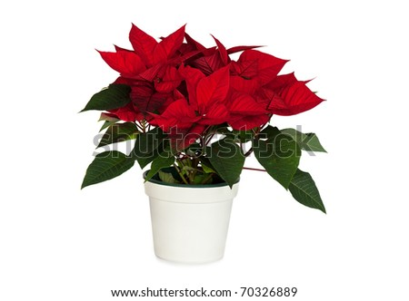 Poinsettia in White Pot isolated on white background