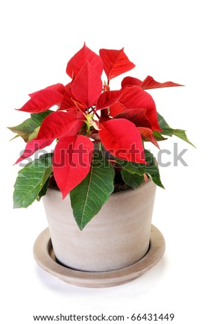 Poinsettia isolated on white background