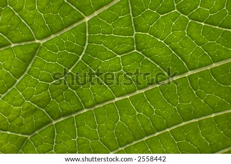 poinsettia leaf