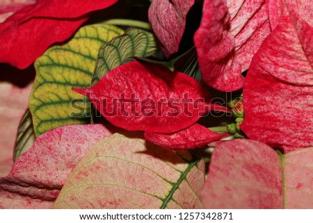 The Close Up Of The Leaf Of A Poinsettia Leaf Of The Poinsettia