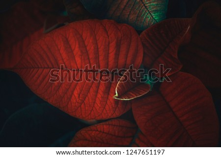 Poinsettia plant flower background for Christmas decoration, and Holidays.
