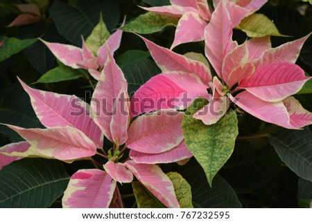 Poinsettia Plant Scientific Name Euphorbia Pulcherrima Poinsettias