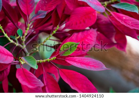 Poinsettia plants grown on the hill top village in Thailand, Asia, produce the beautiful branches with young colourful leaf on selective focus among the red foliages background blurred and bokeh.