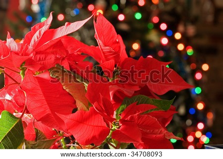 poinsettia with the Christmas tree lights in the background