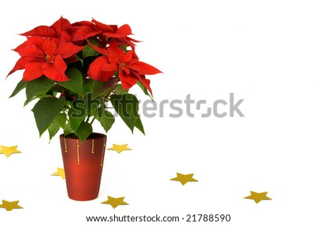 Poinsettia with yellow stars isolated on white