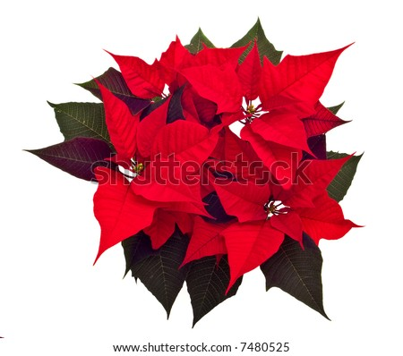 poinsettias Christmas flower isolated on white background