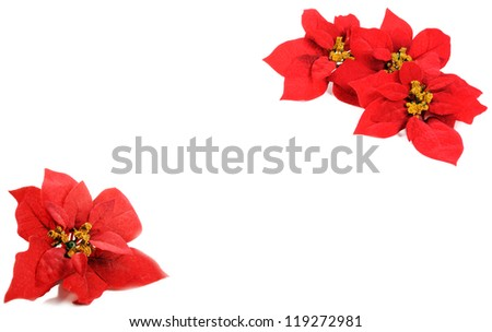 Poinsettias flower - stock photo