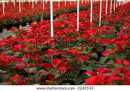 Poinsettias in long rows in a greenhouse