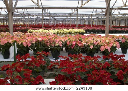 Poinsettias in rows in a large greenhouse.