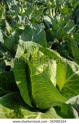 Pointed Cabbage