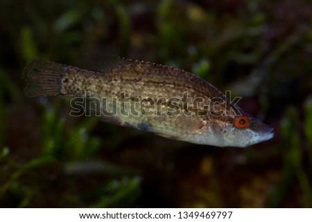 Pointed-snout wrasse (Symphodus rostratus).