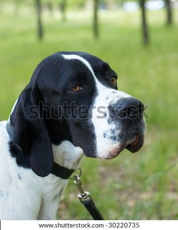 Pointer (hunter dog) with serious look
