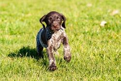 Pointer puppy on the grass