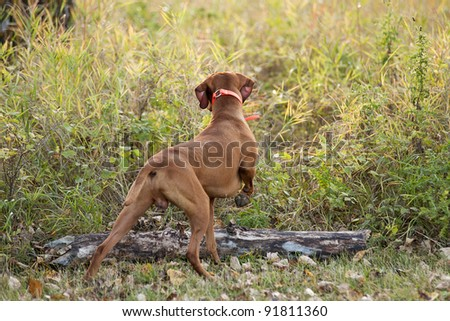 pointing dog working in field