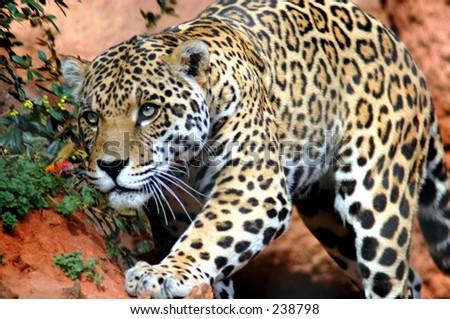 Poised Jaguar
