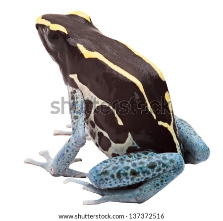 Poison arrow frog isolated on white, Dendrobates tinctorius, Patricia Tropical amphibian from Amazon jungle kept as an exotic pet animal