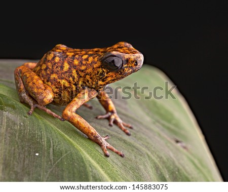 Poison arrow frog Peru tropical Amazon rain forest beautiful amphibian from the exotic jungle a poisonous animal with bright orange color