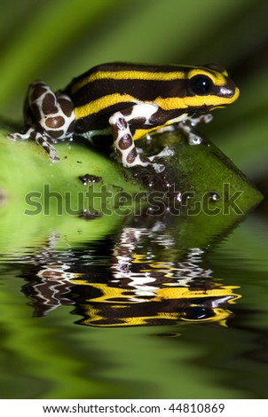 Poison dart frog, Dendrobates lamasi with reflection