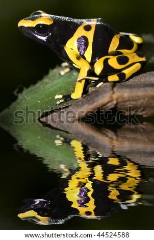 Poison dart frog, dendrobates leucomelas with reflection