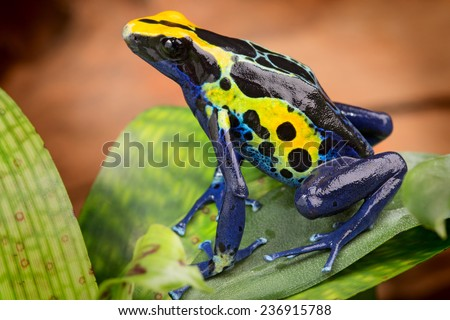 poison dart frog Dendrobates tinctorius from the Amazon rain forest near the border of Suriname and Brazil beuatiful macro of exotic amphibian