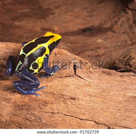 poison dart frog in terrarium poisonous pet animal with bright warning colors black yellow and blue,dendrobates tinctorius