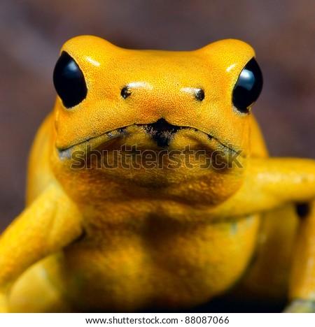 Amazon Rainforest Poison Dart Frog