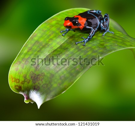 poison dart frog red blue and black small amphibian of tropical Amazon rain forest Peru dendrobates or Ranitomeya benedicta bright warning colors of poisonous animal sitting on a leaf