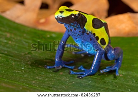 poison dart frog with bright vivid  blue green colors. Beautiful amazon rain forest amphibian of the Brazil tropical jungle. Pet animal kept in terrarium.