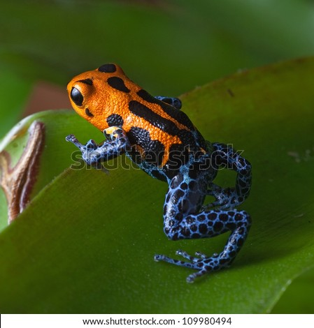 poison frog bright red and blue legs in amazon rain forest in Peru, poisonous animal of tropical rainforest, pet in terrarium
