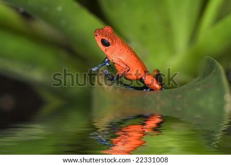 Poison Frog, Dendrobates pumilio. Costa Rica