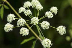 Poison hemlock, Conium maculatum, a sometimes deadly species flowering at the Donnelly Preserve in South Windsor, Connecticut.