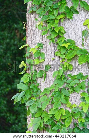 Poison ivy growing up a tree in the woods oil allergy beware reaction shiny leaves wood bark tan brown green