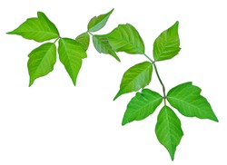 Poison Ivy Isolated to Provide Positive Identification