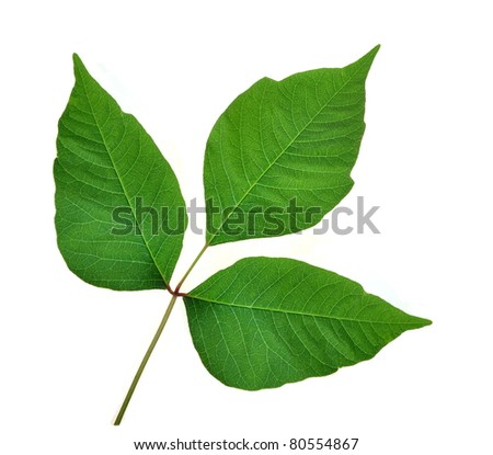 Poison Ivy leaves (Toxicodendron radicans) on a white background.
