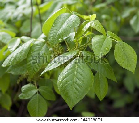 Poison ivy; Rhus radicans