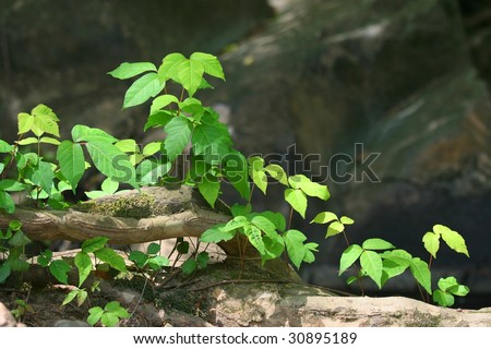Poison ivy (Toxicodendron radicans)grows beside root in rocky area