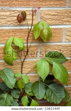 Poison Ivy vine growing up a brick wall.