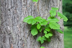 Poison ivy vine growing up the side of a mature tree.