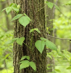 Poison ivy vine, toxicodendron radicans, growing up the side of a tree
