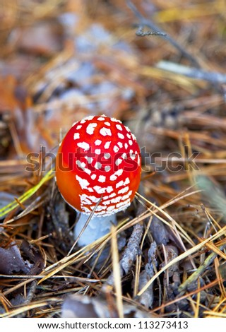 poison mushroom in coniferous pine forest. Autumn. close-up. Shallow depth of field