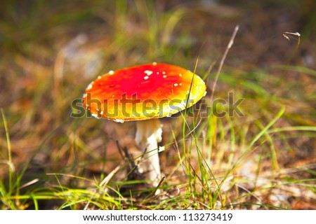 poison mushroom in coniferous pine forest. Autumn. close-up. Shallow depth of field - stock photo