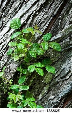 Poison Oak in bud, growing on a cedar tree
