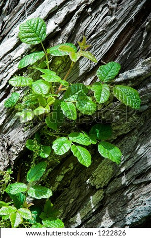 poison oak pictures on skin. stock photo : Poison Oak in