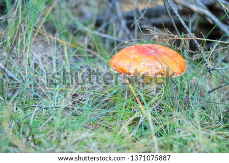 Poison red amanita mushroom with spotted hat and blurred green grass on background. Poisonous dangerous and inedible mushroom fly agaric. Inedible toxic mushroom or toadstool in the grass.
