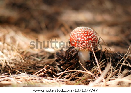 Poison red amanita mushroom with spotted hat and blurred pine dry needles on background. Poisonous dangerous and inedible mushroom fly agaric. Inedible toxic mushroom or toadstool in the grass.