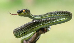 Poisonous Green Viper Snake with bokeh background