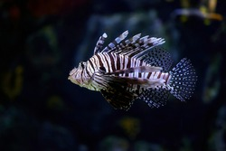 Poisonous marine fish Pterois, commonly known as lionfish, native to the Indo-Pacific Ocean. Also called zebrafish, firefish, turkeyfish, savory fish, or butterfly cod