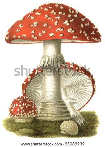 "Poisonous mushroom Amanita muscaria. Publication of the book ""Meyers Konversations-Lexikon"", Volume 7, Leipzig, Germany, 1910"