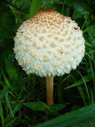 Poisonous mushroom of Thailand. Tropical mushroom.